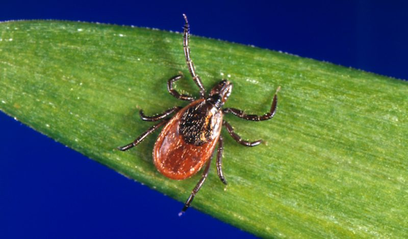 Ticks Infected with Powassan Virus Are Rare But Pose a Real Threat